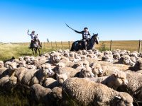 Shepherds herd sheep on horseback in Uruguay