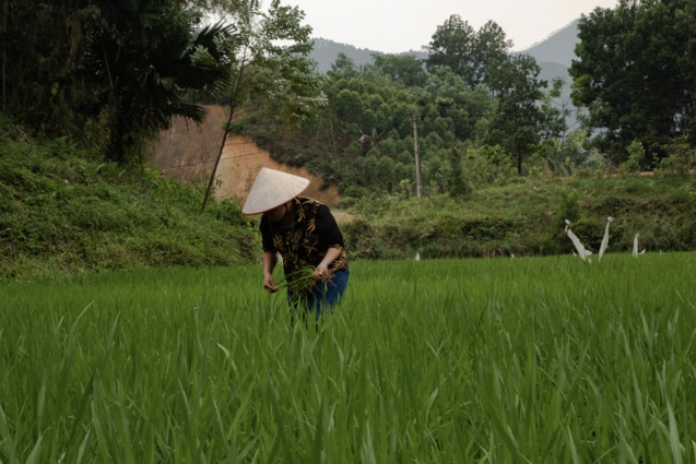 worker on a rice farm