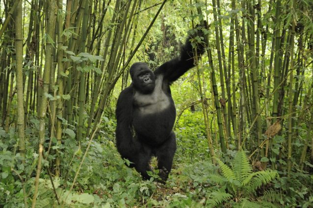 gorilla in bamboo stand