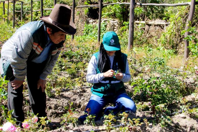 A government extension agent inspecting rose bushes in Ancash