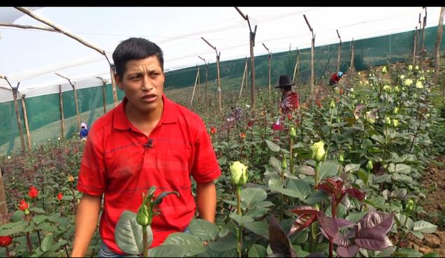 farmer in rose field