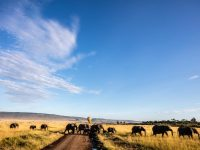 elephants in a field crossing a road