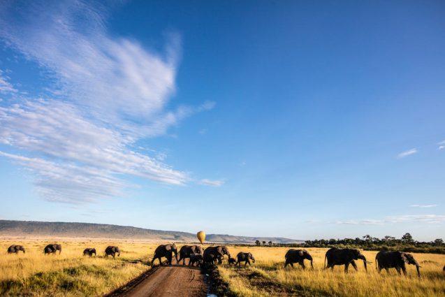 elephants in a field crossing a road