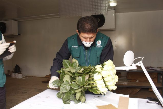 worker wearing face mask holding white roses