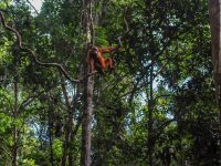 An orangutan swings in a tree in a rainforest on Borneo