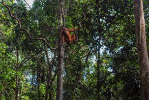 An orangutan swings in a tree in a rainforest on Borneo