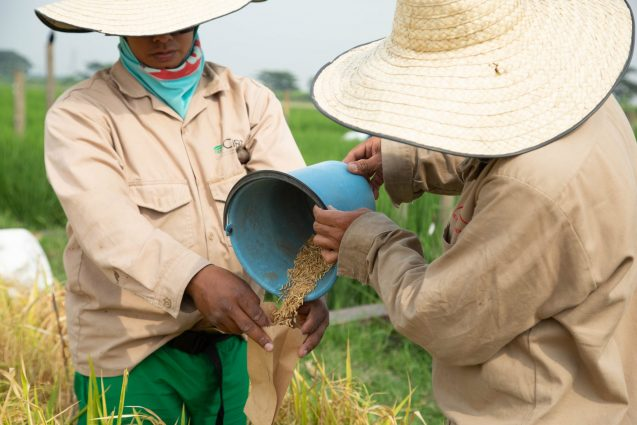 Two field laborers pour harvested rice grains into a specially labeled packet