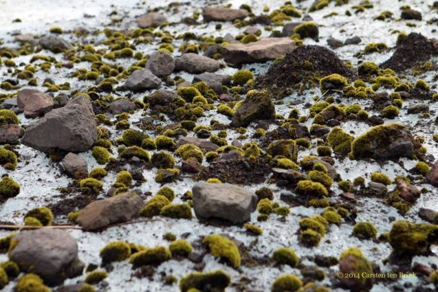 moss balls in Iceland