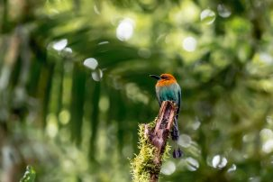 The motmot, a beautiful multi-colored bird with a long tail, in the Monteverde Cloud Forest of Costa Rica