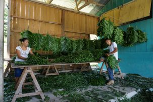 Two people packaging leaves as part of work on a forestry concession in Guatemala
