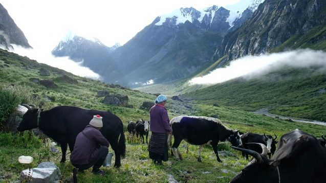 Two people are in a grassy pasture with six yaks. There are mountains and low clouds in the background.