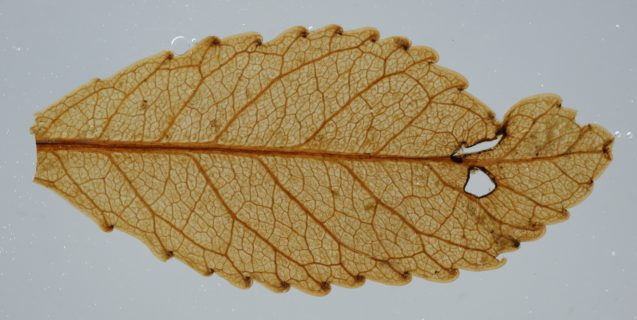 preserved leaf
