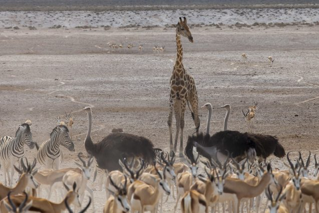 giraffe, ostrich, and other animals in Namibia