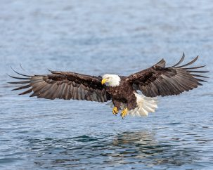 The Endangered Species Act was instrumental in helping the Bald Eagle, America's national symbol, recover from the threat of extinction. Andy Morffew from Itchen Abbas, Hampshire, UK