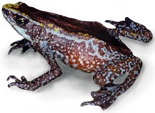 The Chiriqui harlequin frog, last seen in 1996, was declared extinct in 2020. Brian Gratwicke / Smithsonian Tropical Research Institute