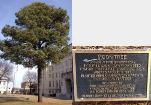 A photograph of the loblolly pine Moon Tree and plaque in front of the Sebastian County, Arkansas, courthouse. Jesse Berry / Wikipedia