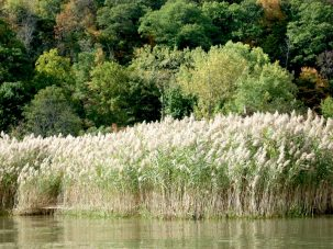 phragmites reeds