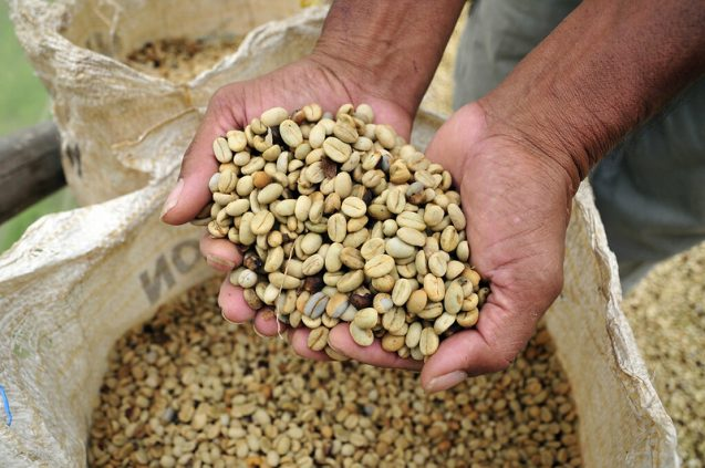 a person pulls coffee beans from a bag with two hands