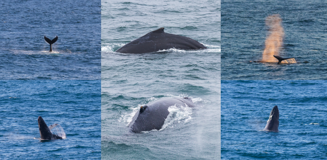 Humpback whale collage