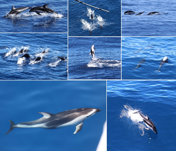 Pacific white-sided dolphins and northern right-whale dolphins collage