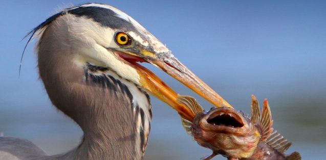 A large bird with a bright yellow eye grasps an open-mouthed fish in its long beak.